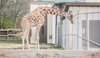 Zoo_Giraffe_Web