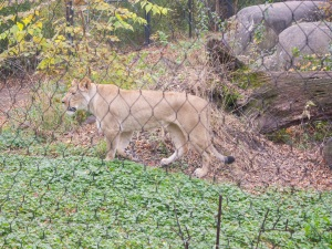 Zoo_Lion_Web