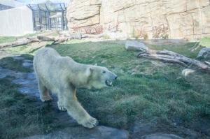 Zoo_Polar_Bear_Web