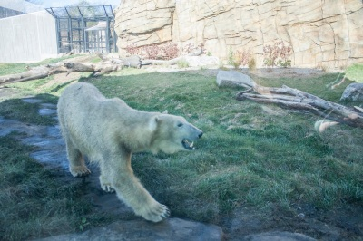 Zoo_Polar_Bear_Web