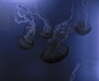 Aquarium_Jellyfish_Web