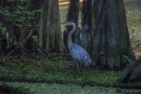 Caddo_Lake_Blue_Heron_14_Web
