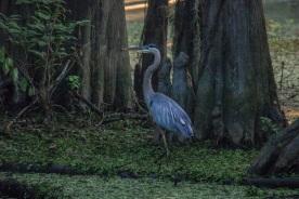 Caddo_Lake_Blue_Heron_14_Web