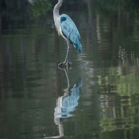 Caddo_Lake_Blue_Heron_22_Web