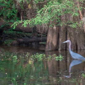Caddo_Lake_Blue_Heron_24_Web