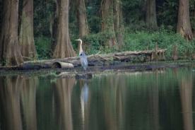 Caddo_Lake_Blue_Heron_25_Web