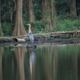 Caddo_Lake_Blue_Heron_25_Web