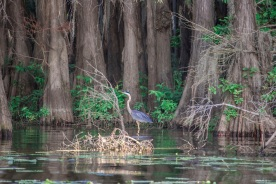 Caddo_Lake_Blue_Heron_9_Web