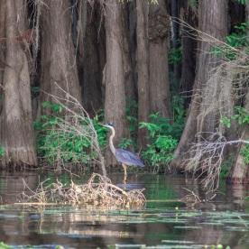 Caddo_Lake_Blue_Heron_9_Web