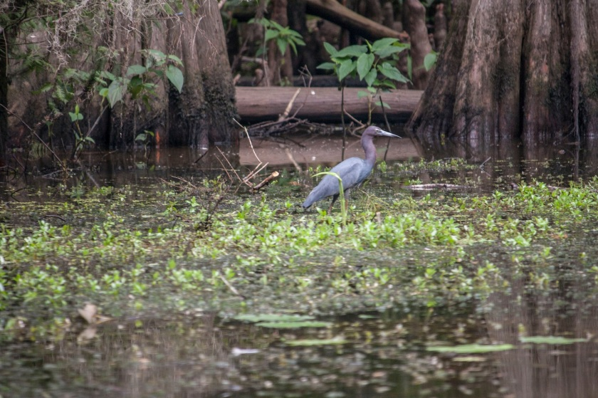 Blue Heron, LEAP Center, SHSU, Mark Burns, Photography, Caddo Lake