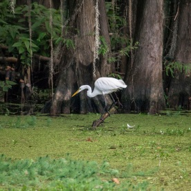Caddo_Lake_Egret_11_Web