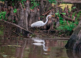Caddo_Lake_Egret_12_Web