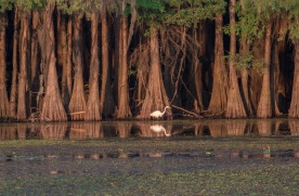 Caddo_Lake_Egret_13_Web