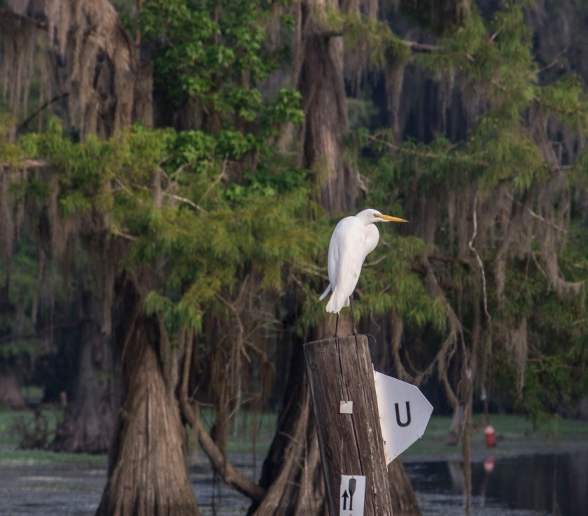 Egret, LEAP Center, SHSU, Documentary, Photography, Caddo Lake