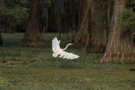 Caddo_Lake_Egret_3_Flying_Web