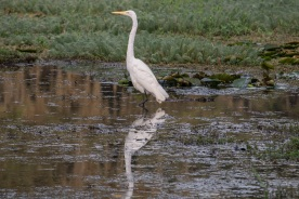 Caddo_Lake_Egret_4_Web