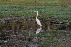 Caddo_Lake_Egret_5_Web