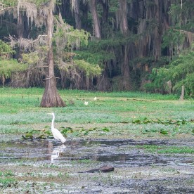 Caddo_Lake_Egret_7_Cropped