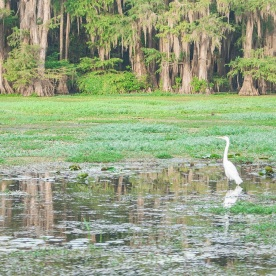 Caddo_Lake_Egret_9_Web