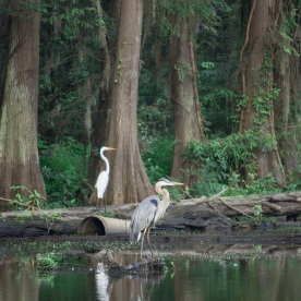 Caddo_Lake_Egret_Blue_Heron_3_Web