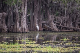 Caddo_Lake_Egret_Web